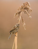 Reed bunting  on reed branch Stock Image