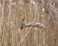 Reed Bunting on Reed Stock Photography