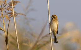 Reed Bunting on Reed. Female Reed bunting (Emberiza schoeniclus) is perching on reed Royalty Free Stock Images