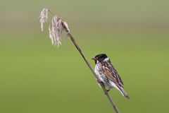 A Reed Bunting in the reeds. A Reed Bunting is sitting in the reeds Royalty Free Stock Image