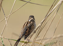 Reed Bunting. A Reed Bunting on reeds in Fife, Scotland, UK Royalty Free Stock Image