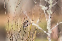 Reed Bunting. Sitting in the tree stock images