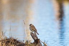 Reed Bunting. Sitting on a tree stump Royalty Free Stock Photos