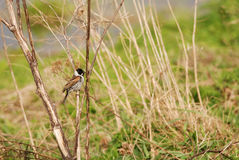 Reed bunting. Standing on a straw in summer Stock Photo