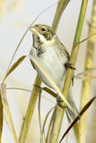 Reed Bunting, in winter plumage (Emberiza schoeniclus) Stock Photos