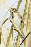 Reed Bunting, in winter plumage (Emberiza schoeniclus). Reed Bunting, in winter plumage, in natural habitat (Emberiza schoeniclus stock photos
