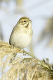 Reed Bunting, in winter plumage (Emberiza schoeniclus) Royalty Free Stock Photography