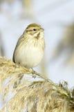 Reed Bunting, in winter plumage (Emberiza schoeniclus). Reed Bunting, in winter plumage, in natural habitat (Emberiza schoeniclus royalty free stock photography