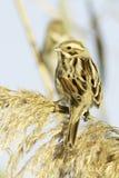 Reed Bunting, in winter plumage (Emberiza schoeniclus) stock image