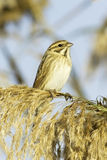 Reed Bunting, in winter plumage (Emberiza schoeniclus) Royalty Free Stock Photo