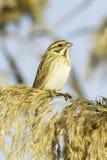 Reed Bunting, in winter plumage (Emberiza schoeniclus). Reed Bunting, in winter plumage, in natural habitat (Emberiza schoeniclus royalty free stock photo
