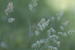 Reed Canary Grass Background plumoso foto de archivo libre de regalías