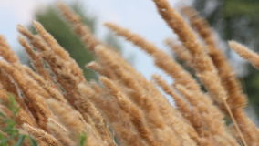 Reed canary grass stock video footage