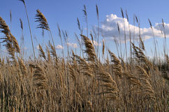 Reed, cane, bulrush Stock Photos