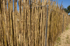 Reed cane. Giant reed cane drying in a cane plantation, var country, france stock image
