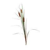 Reed cane grass Royalty Free Stock Image