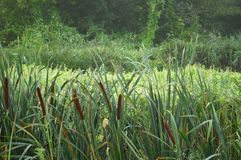 Reed, cane grass in the misty morning. Hunting concept background Stock Photo