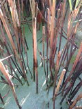 Reed canes Royalty Free Stock Photos