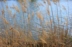 Reed Canes by a Riverside. Some dry reed canes by a river on the water background Stock Photos