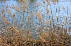 Reed Canes vid en flodstrand arkivfoton