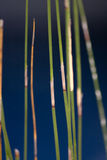 Reed close up. Close up shot of reeds with high DOF Stock Photo