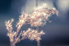 Reed. Close-up in blue and orange Royalty Free Stock Photography