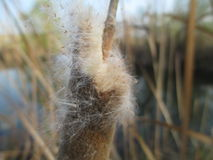 Reed. Close up of a reed grass with a river background royalty free stock photography