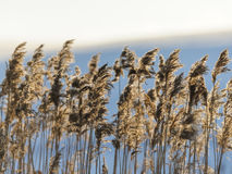 Free Reed Closeup In Sunset Royalty Free Stock Photos - 37773148