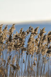 Reed closeup in sunset Royalty Free Stock Photo