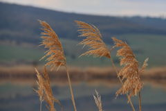 Reed closeup in sunset Royalty Free Stock Photography