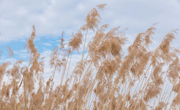 Reed in the cloudy sky Royalty Free Stock Image