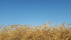 Reed cluster in wind and warm light Stock Images