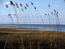 Reed on the coastline stock images
