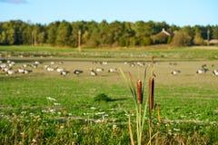 Reed com campo com gansos fotografia de stock