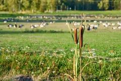 Reed com campo com gansos fotos de stock