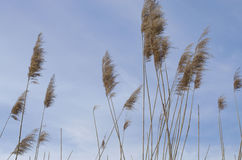 Reed. Is common name for several tall, grass-like plants of wetlands Stock Image