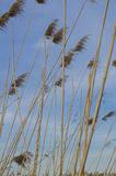 Reed. Is common name for several tall, grass-like plants of wetlands Stock Images