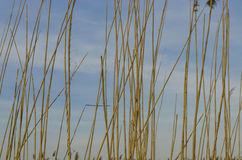 Reed. Is common name for several tall, grass-like plants of wetlands Stock Photo