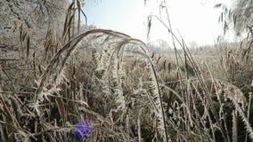 Reed con los cristales de la helada de la escarcha en invierno almacen de metraje de vídeo