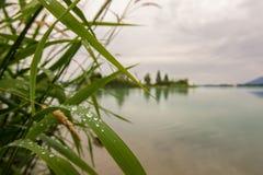 Reed con los waterdrops Fotos de archivo libres de regalías