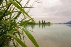 Reed con los waterdrops Imagenes de archivo