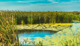 The reed and coot. The reed, coot and sky - Natural park Comana, Giurgiu county, Romania stock image