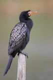 Reed Cormorant Royalty Free Stock Image