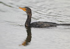 Reed Cormorant Stock Photography