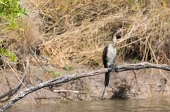 Reed Cormorant foto de stock royalty free