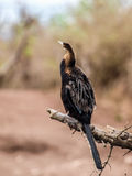 Reed cormorant Stock Image