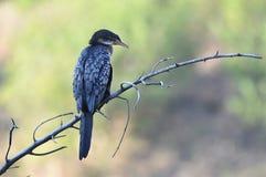 Reed Cormorant auf Niederlassung mit schönem Hintergrund lizenzfreies stockbild
