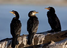 Reed Cormorant - Botswana. A group of Reed Cormorant (Phalacrocorax africanus) on the Chobe River in Botswana Royalty Free Stock Image