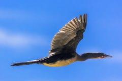 Reed Cormorant Etiopien royaltyfri foto