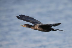 Reed cormorant flying over water to spot for fishing Royalty Free Stock Photo